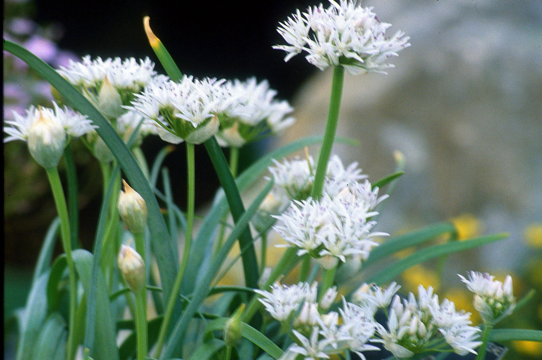 Allium%20tolmiei%20v%20Platyphyllum%20%28Als%29.jpg
