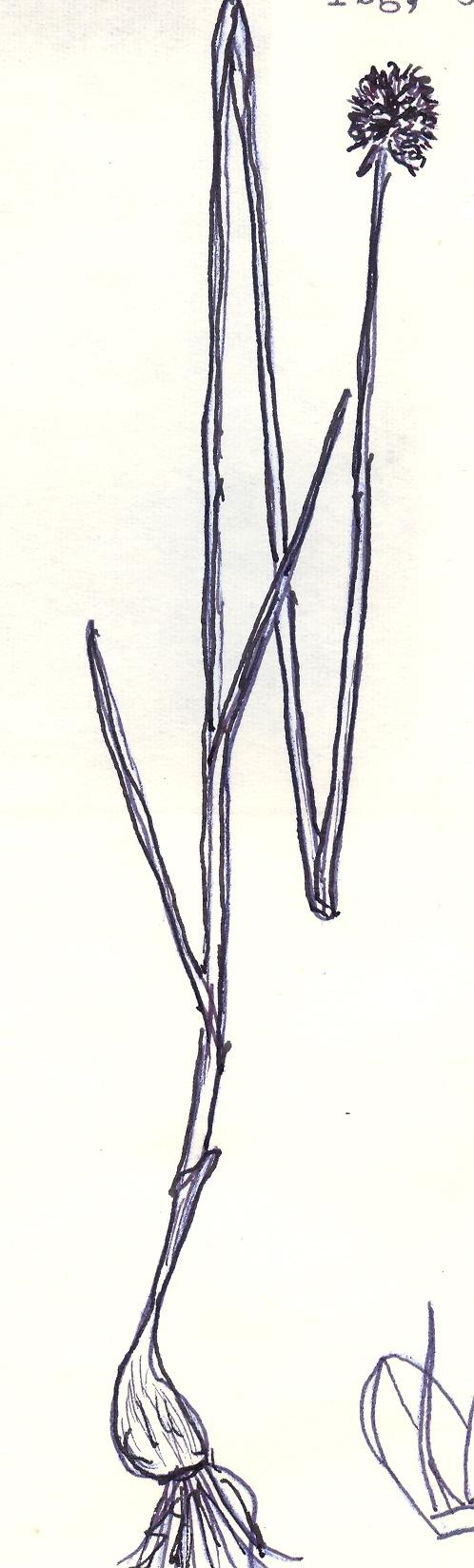 Allium%20transvestiens.jpg
