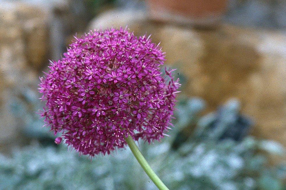 Allium%20trautvettersanum%20(Als)1.jpg
