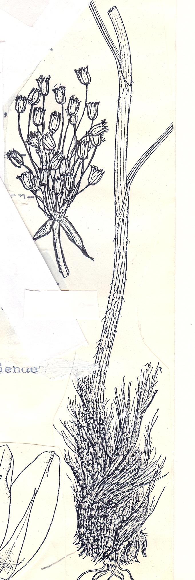 Allium%20trichonemis.jpg