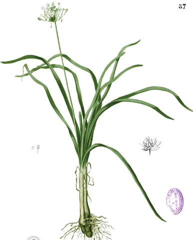 Allium%20tricoccum.jpg