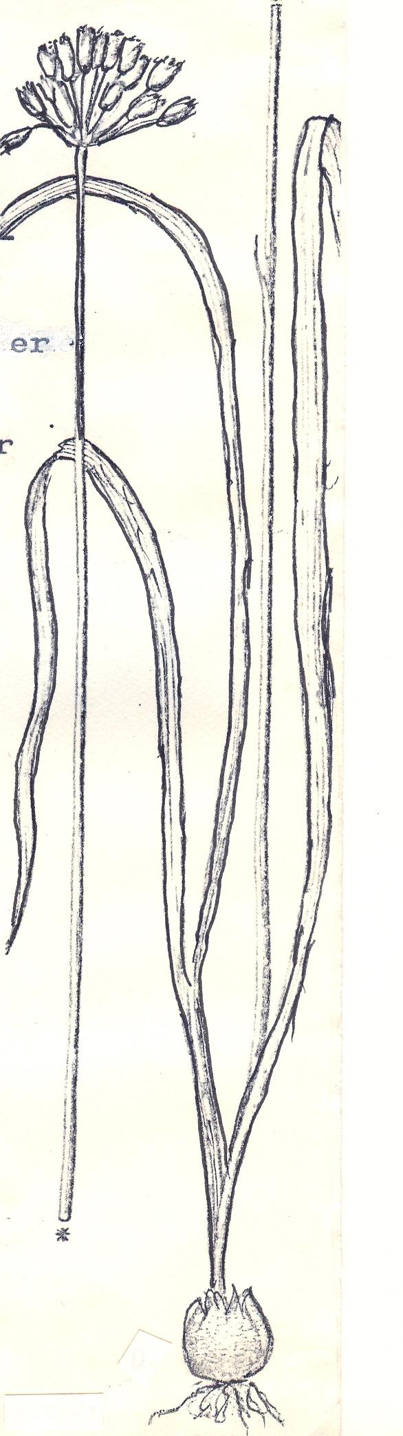 Allium%20tripterum.jpg