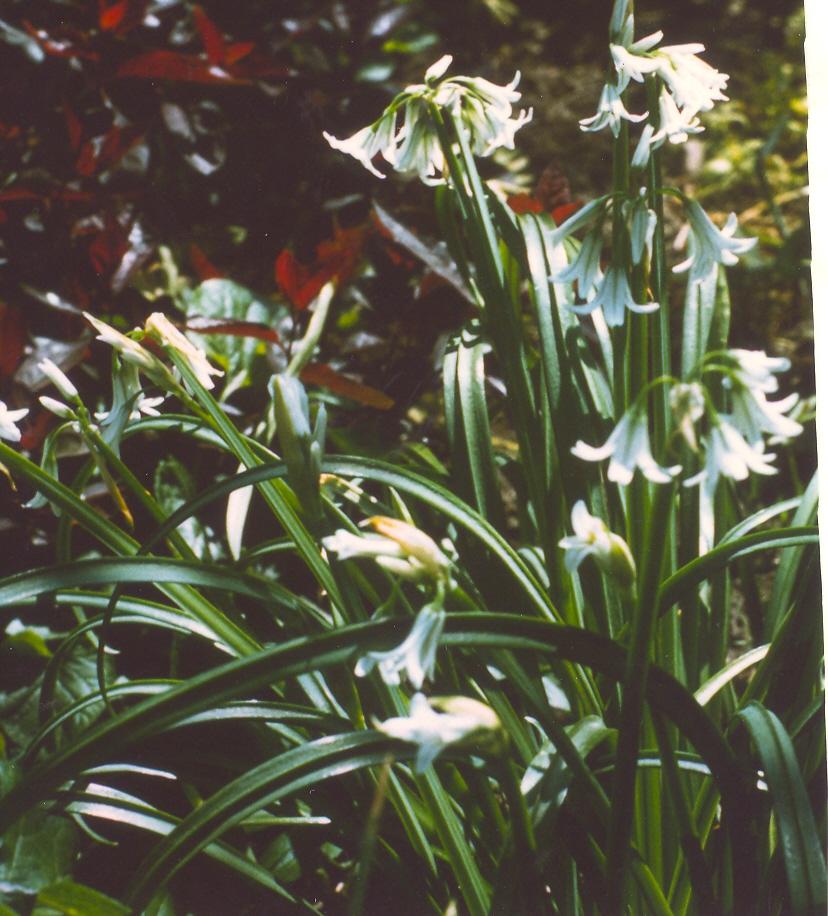 Allium%20triquetrum.jpg