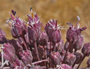 Allium%20truncatum.jpg