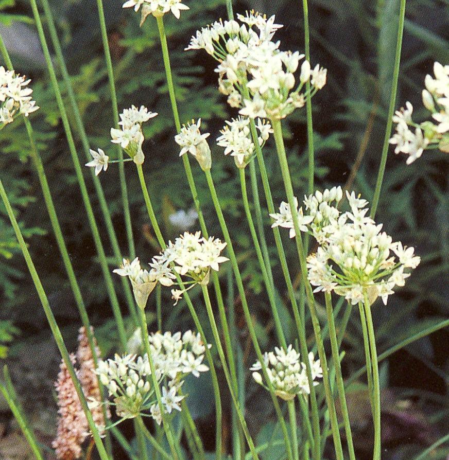 Allium%20tuberosum.jpg