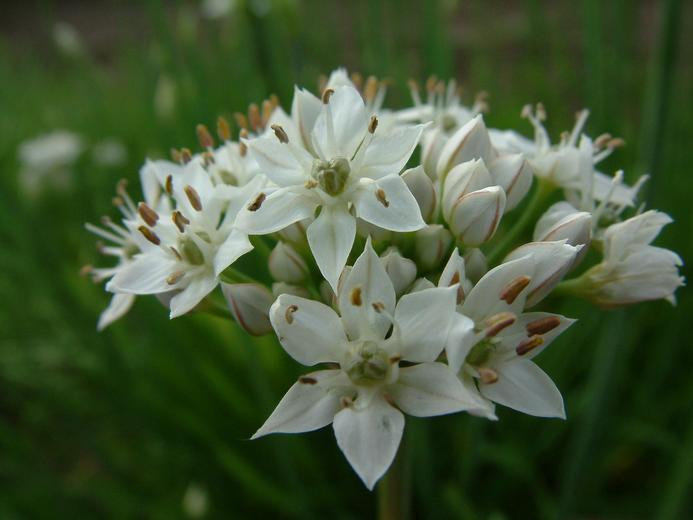 Allium%20tuolumnense.jpg