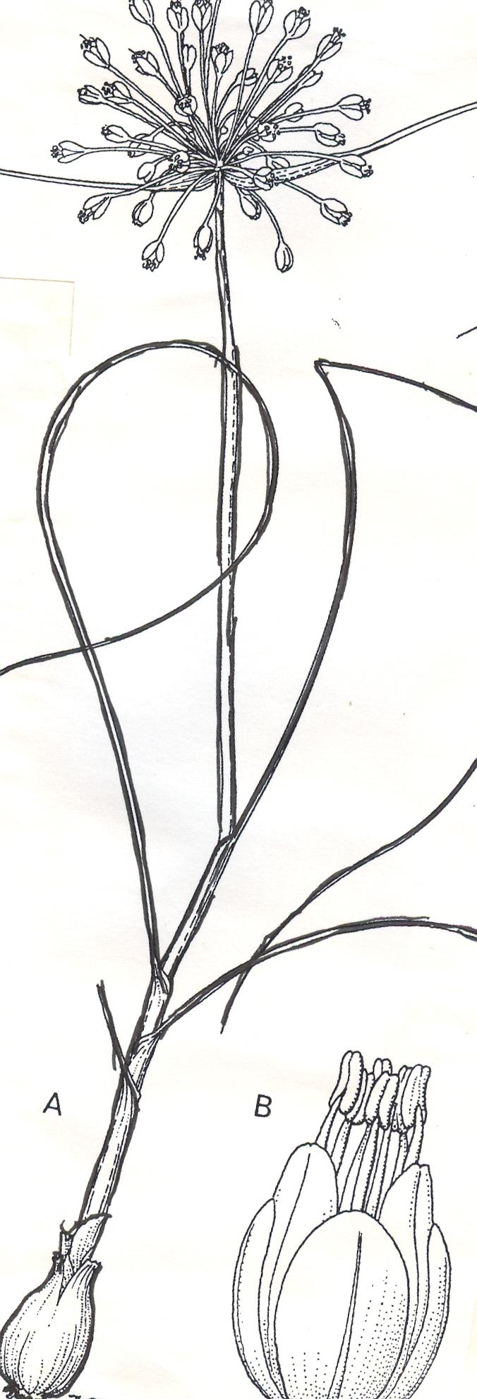 Allium%20turcicum.jpg