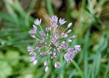 Allium%20turkestanicum.jpg
