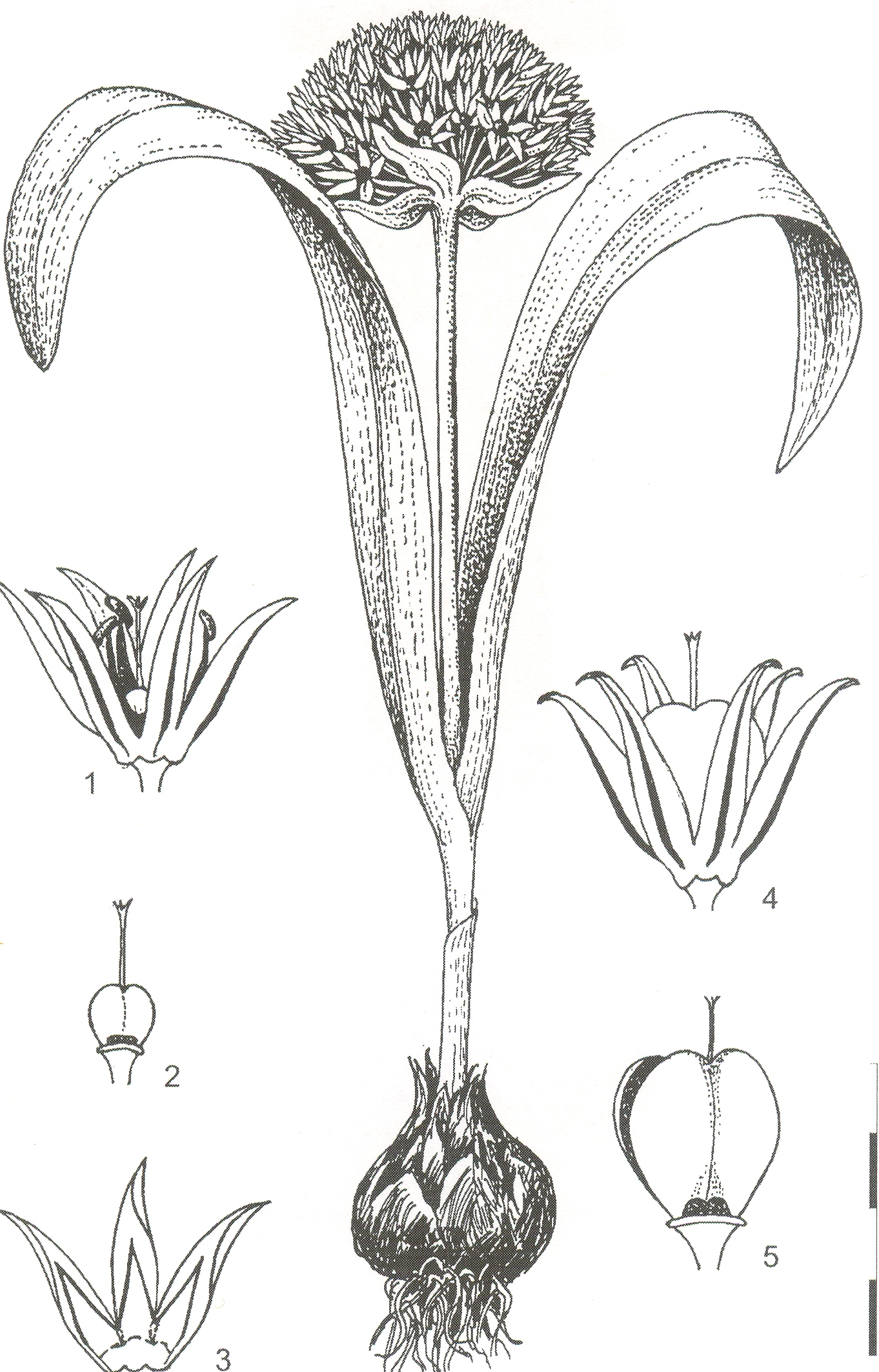 Allium%20vasilevskajae.jpg