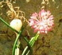 Allium%20verticillatum.jpg