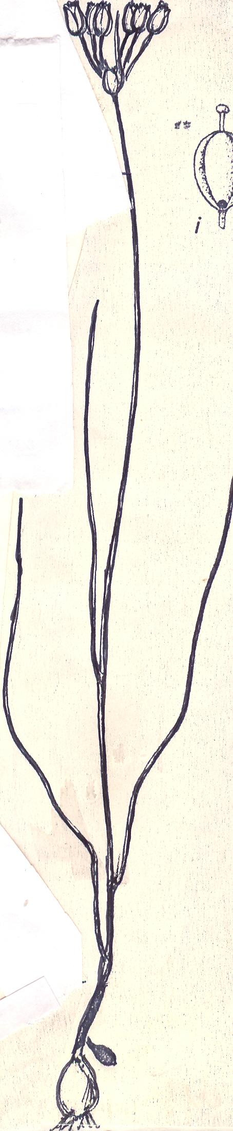Allium%20vescum.jpg