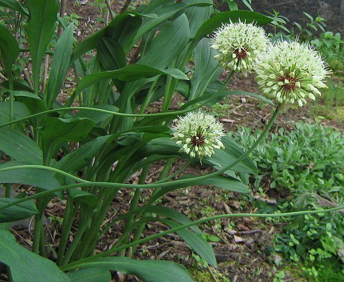 Allium%20victorialis.jpg