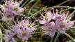 Allium%20virgunculae.jpg