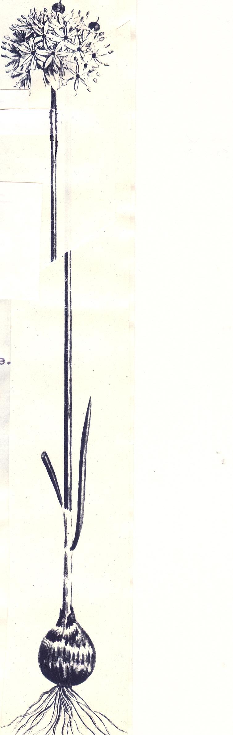 Allium%20viridulum2.jpg