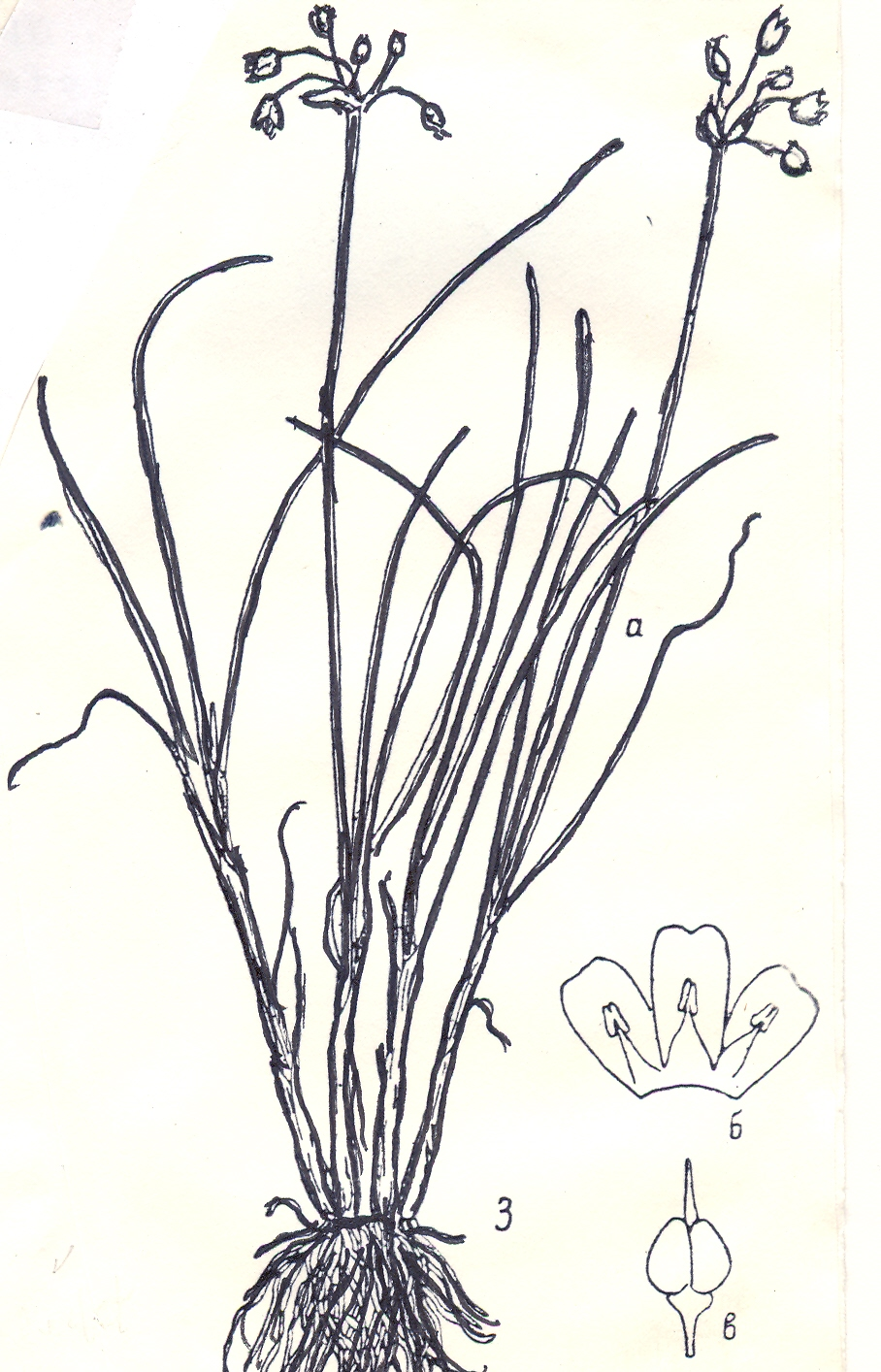 Allium%20vodopjanovae.jpg