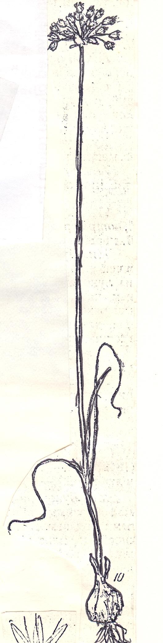 Allium%20vvedenskyanum.jpg