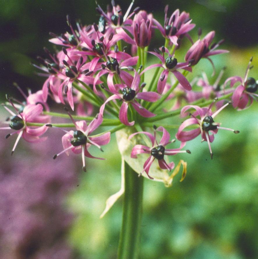 Allium%20wallichii.jpg