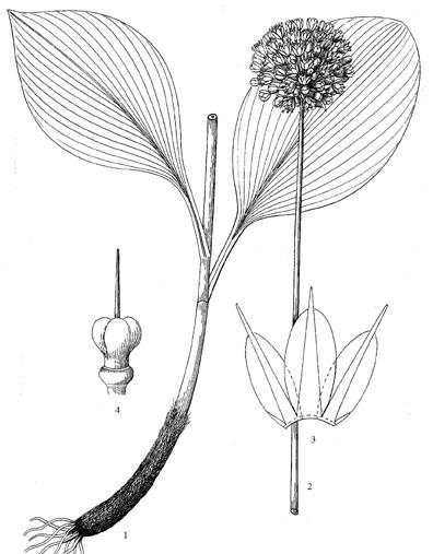 Allium%20wenchuanense.jpg