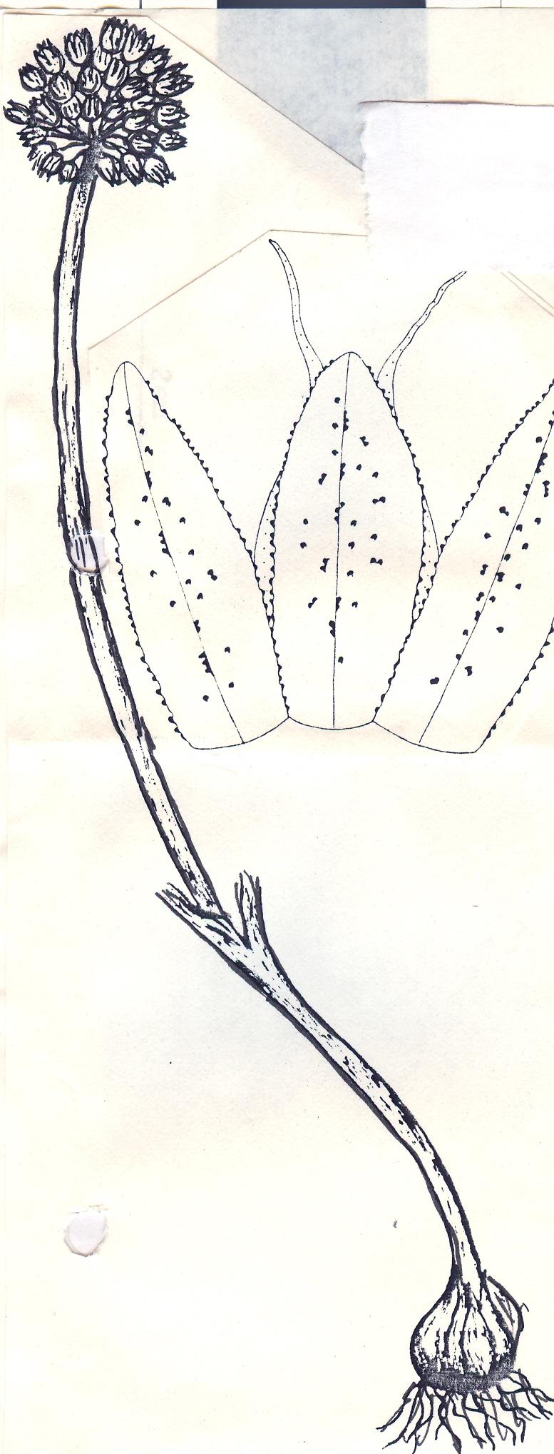 Allium%20wendelboi.jpg