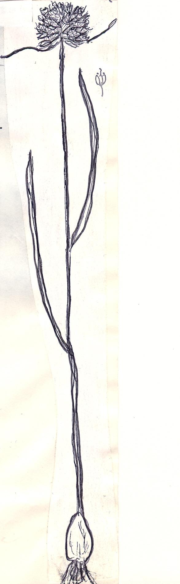 Allium%20wildemannianum.jpg