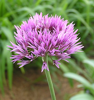 Allium%20winklerianum.jpg