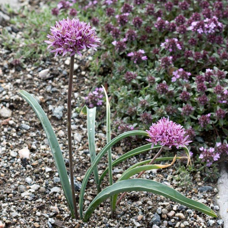 Allium%20woronowii.jpg