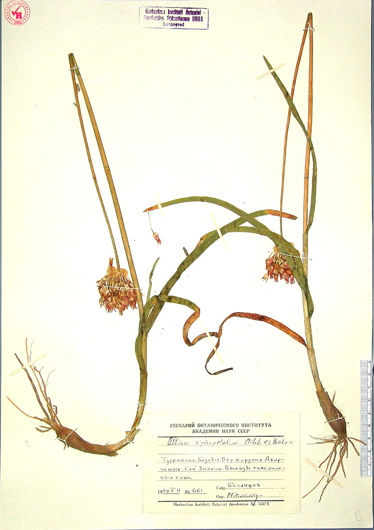 Allium%20xiphopetalum.jpg