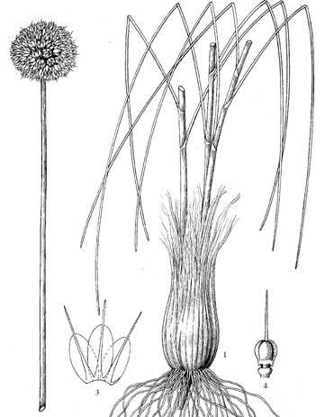 Allium%20yanchiense.jpg