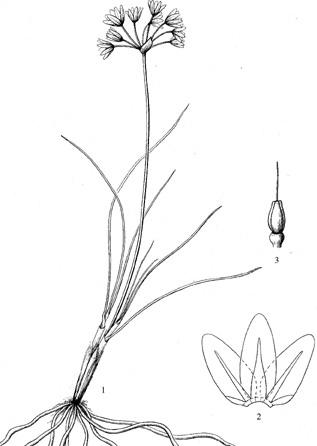 Allium%20yongdengense.jpg