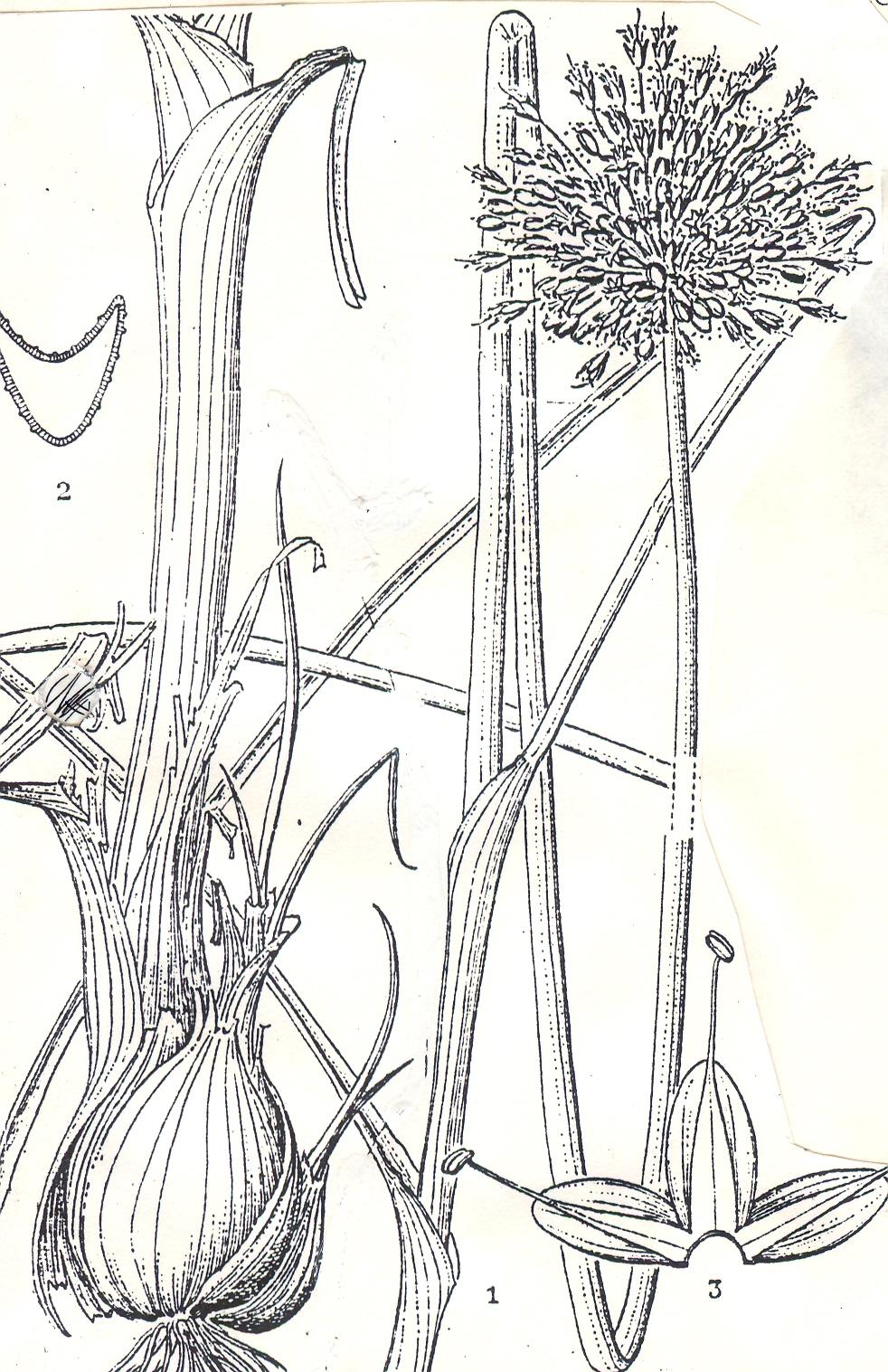 Allium%20yuchuanii.jpg