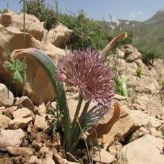 Allium%20zagricum2.jpg
